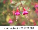 Pink Fuchsia On The Natural...