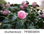 Pink camellia camellia japonica ...