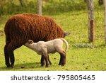 maternal image of a sheep... | Shutterstock . vector #795805465