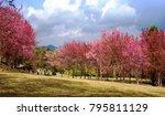 beautiful cherry blossom tree ...   Shutterstock . vector #795811129