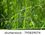 dragonflies on the leaf | Shutterstock . vector #795839074