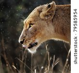 Portrait Of A Lioness In The...