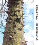 ceiba speciosa  silk floss tree ... | Shutterstock . vector #795859585