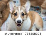face red and white purebred... | Shutterstock . vector #795868375