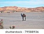 dromedary | Shutterstock . vector #79588936