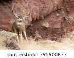 Giant Mule Deer Buck In Front...
