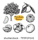 mandarin orange set. ink sketch ... | Shutterstock .eps vector #795919141