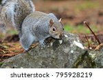 Portrait Of A Grey Squirrel On...