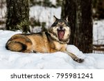 Grey Wolf  Canis Lupus  Lying...