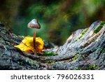 magic mushroom. small psilocybe ...   Shutterstock . vector #796026331
