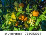 oranges hanging from tree...   Shutterstock . vector #796053019