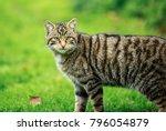 the scottish wildcat  or...   Shutterstock . vector #796054879