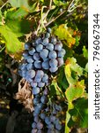 grapes plantation in mendoza ... | Shutterstock . vector #796067344
