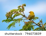 close up of wild canary... | Shutterstock . vector #796073839