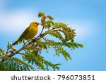 close up of wild canary... | Shutterstock . vector #796073851