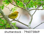 close up of wild canary... | Shutterstock . vector #796073869