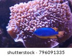 Small photo of Chrysiptera. Blue fish with orange bottom near coral