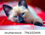 Stock photo a small siamese kitten with blue eyes lies on a red veil 796102444