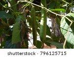 canavalia gladiata jack bean... | Shutterstock . vector #796125715