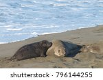 Small photo of Female elephant seal with infant pup on a beach in California. Pups nurse about four weeks are weaned abruptly then abandoned by their mother, who heads out to sea within days.
