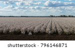 cotton field  a large cotton... | Shutterstock . vector #796146871