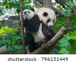 panda mother and cub in forest... | Shutterstock . vector #796151449