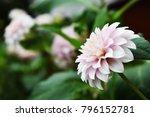 Blooming White Dahlia Flower I...