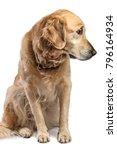 Golden Retriever Dog Sitting...
