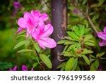 pink azalea flowers in the...   Shutterstock . vector #796199569