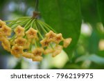 hoya diptera seem. the medium... | Shutterstock . vector #796219975