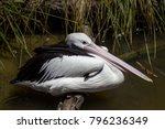 Pelican Resting On A Log In Th...