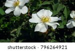 White Rose On A Branch With...