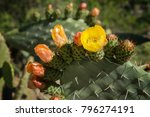 Prickly Pear Cactus With Orang...