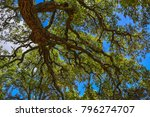 Italy Sardinia Cork Oak Trees