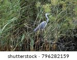 heron on the ropotamo river ... | Shutterstock . vector #796282159
