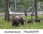 grizzly sow and cubs in... | Shutterstock . vector #796283599