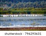 huge flock of great white... | Shutterstock . vector #796293631