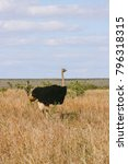 A Male Ostrich Walking In The...
