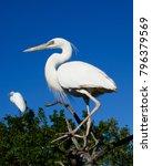 beautiful white egrets snowy...   Shutterstock . vector #796379569