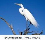 beautiful white egrets snowy...   Shutterstock . vector #796379641