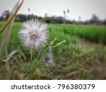 White Dandelion Flower On Blur...