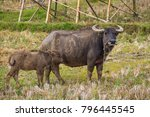 thai mother buffalo and baby... | Shutterstock . vector #796445545