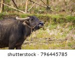 thai mother buffalo and baby... | Shutterstock . vector #796445785