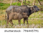 thai mother buffalo and baby... | Shutterstock . vector #796445791