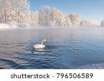 A Lone Whooper Swan Swim In Th...