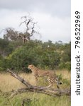 Small photo of A vertical, colour image of a cheetah, Acinonyx jubatus, standing on a fallen tree in the Greater Kruger Transfrontier Park, South Africa.