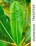 frangipani or plumeria green... | Shutterstock . vector #796537519