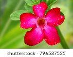 fresh red adenium flower with... | Shutterstock . vector #796537525