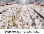 Indoors Chicken Farm  Chicken...