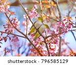 beautiful bird chestnut...   Shutterstock . vector #796585129